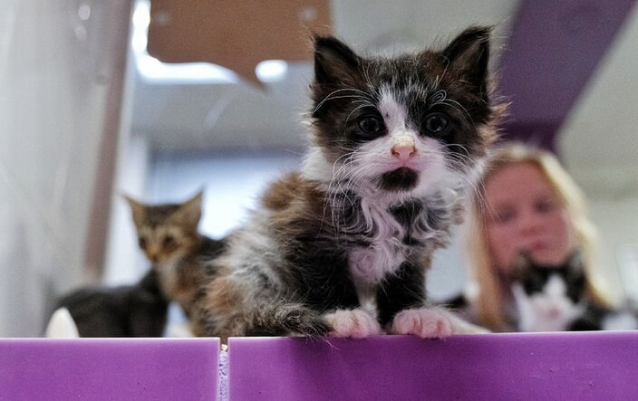 Эрмитажный котенок