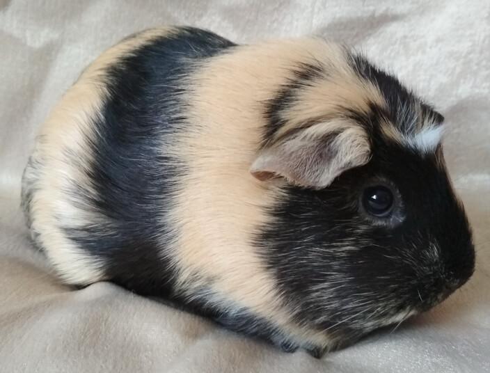 На мимиFEST можно узнать о способах разведения морских свинок
