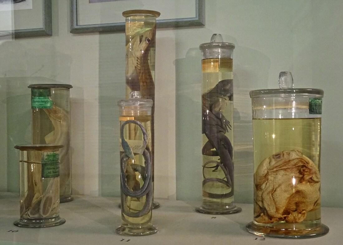 Экспонаты в формалиновом растворе